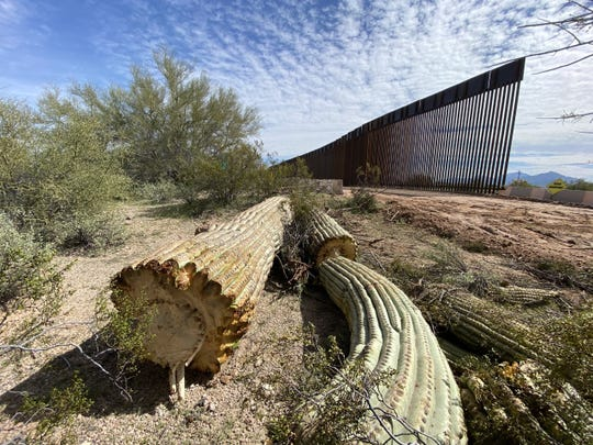 In the Organ Pipe Cactus National Monument near Arizona's border with Mexico, saguaro cactus, a protected plant species, is cleared and cast aside to make way for steel bollard barriers comprising the border wall in March 2020.