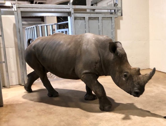 Jiwe, a 4-year-old southern white rhino, has arrived at the Seneca Park Zoo.
