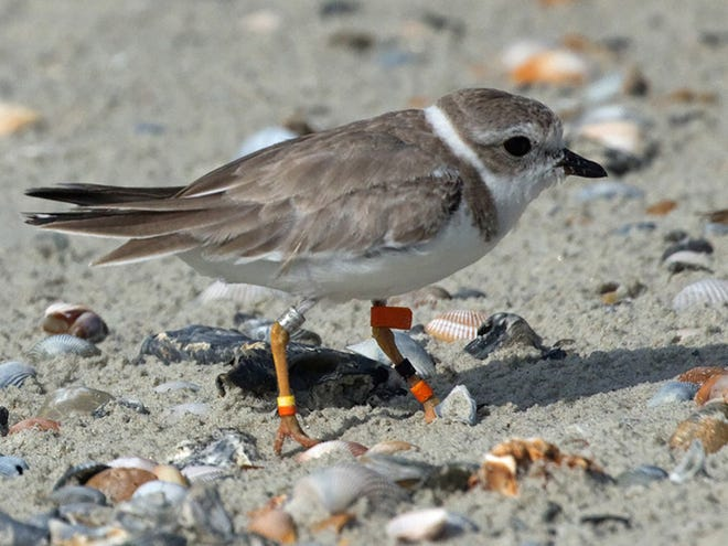 This piping plover was hatched at the Detroit Zoo and captive-reared.