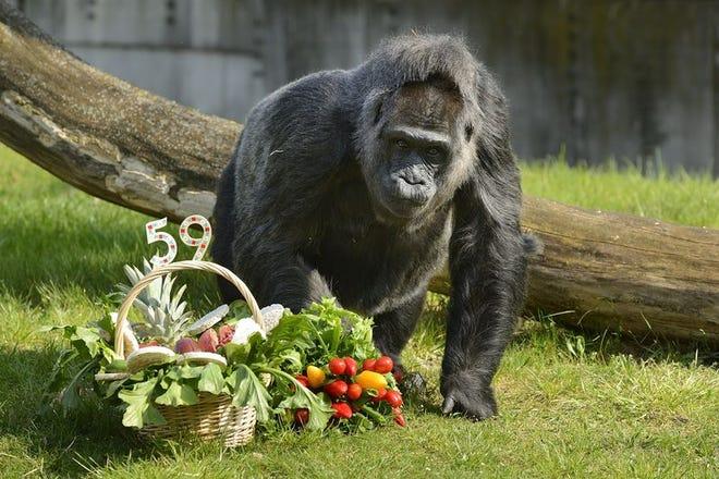 Fatou the gorilla on her 59th birthday. Fatou is now 63.