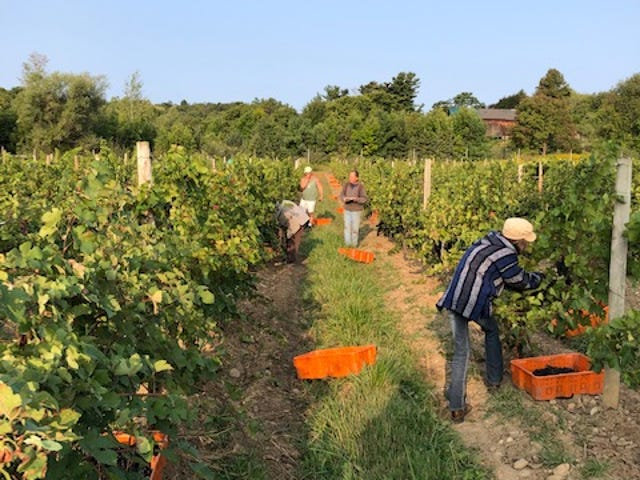Heron Hill 2020 harvest of Pinot Noir is seen taking place in Heron Hill's Ingle Vineyard above Canandaigua Lake.