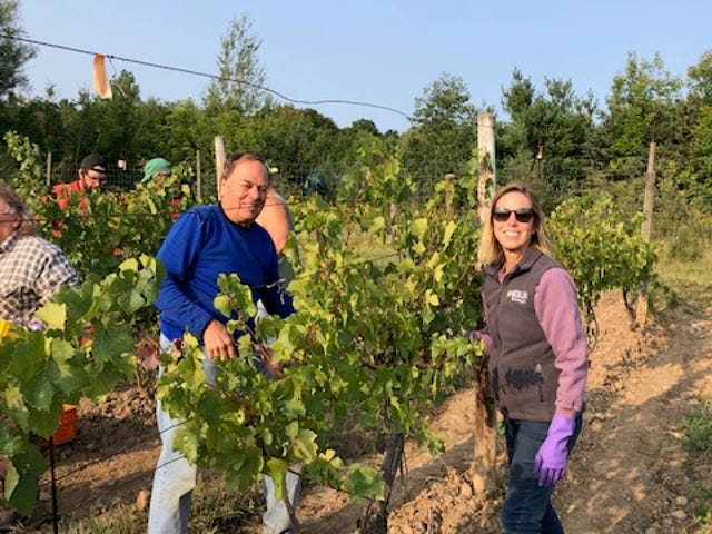 John and Josephine Ingle, owners of Heron Hill Winery, are seen in their Ingle Vineyard above Canandaigua Lake harvesting Pinot Noir grapes.