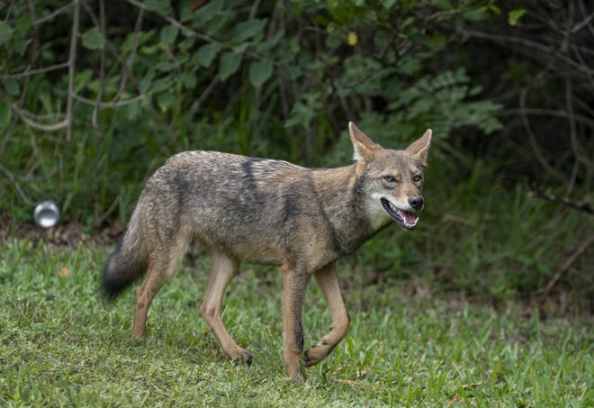 A coyote walks along the grassy shoulder of South Ocean Boulevard, just north of the Palm Beach Par-3 Golf Course on October 12 , 2020 in Palm Beach, Florida. The Palm Beach Police Department has recently received several reports of coyote sightings in the Town. (GREG LOVETT / The Palm Beach Post)