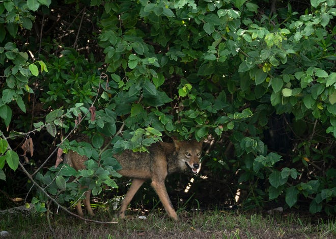 A coyote walks along the grassy shoulder of South Ocean Boulevard near Sloan's Curve on Oct. 12.