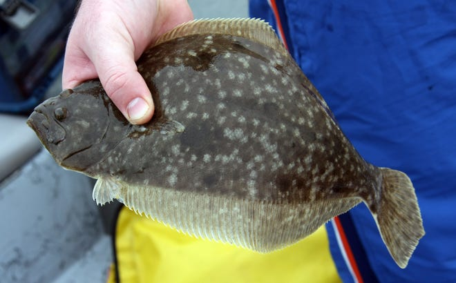 Flounder, the delicious flatfish have proven to lag behind in recovering from the past couple of red tide outbreaks when most other species have come back in spades.