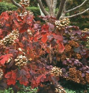 Show Queen hydrangea's fragrant white flowers turn rosy  tan as the foliage becomes bronze and scarlet in fall.