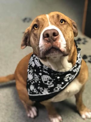 Mr. Feeny is a pit mix looking for a home.