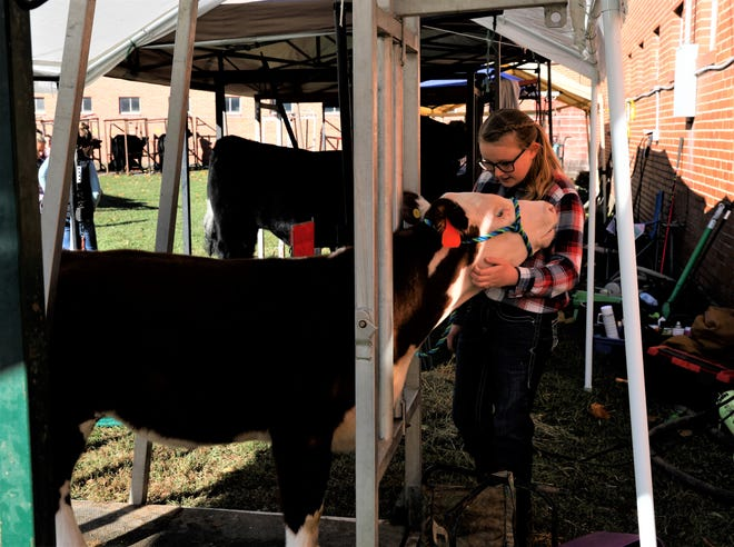 Brooke Hurst comforts her feeder calf Butch before the beef show at the Fairfield County Fair Tuesday. This is Hurst's second year showing, and she said it's a lot different than previous years, considering the restrictions in place because of the COVID-19 pandemic.