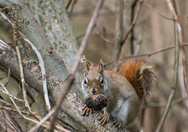 A squirrel carries a nut in its mouth.