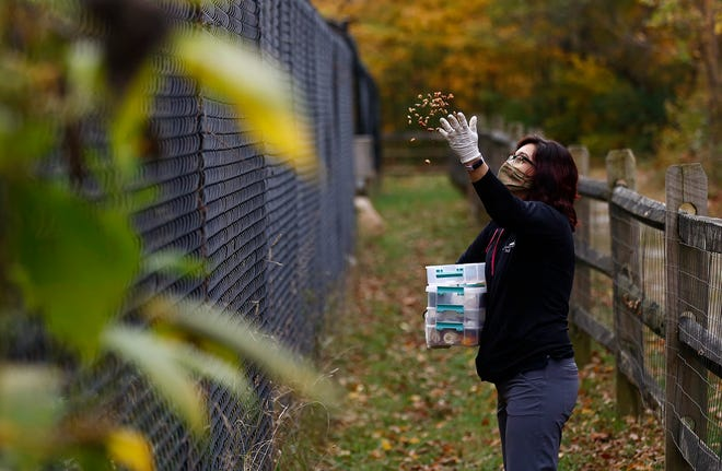 Stormy Gibson, assistant executive director of the Ohio Wildlife Center, tosses food Wednesday into an enclosure where Dryden, a coyote, lives. The food is randomly placed so that the animals can find it like they do in the wild.