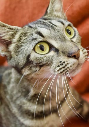 Carlee, a young tabby female, is available for adoption from Wags & Whiskers Pet Rescue. Routine shots are up to date. For information, call 904-797-6039 or go to wwpetrescue.org to see more pets.
