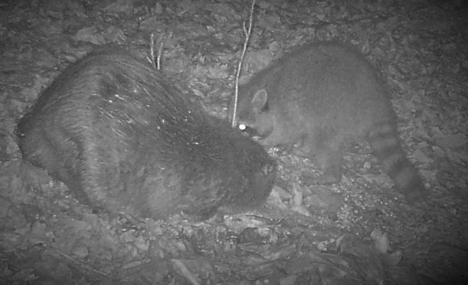 A raccoon and beaver would not normally spend time together. Here, they share a pile of corn.