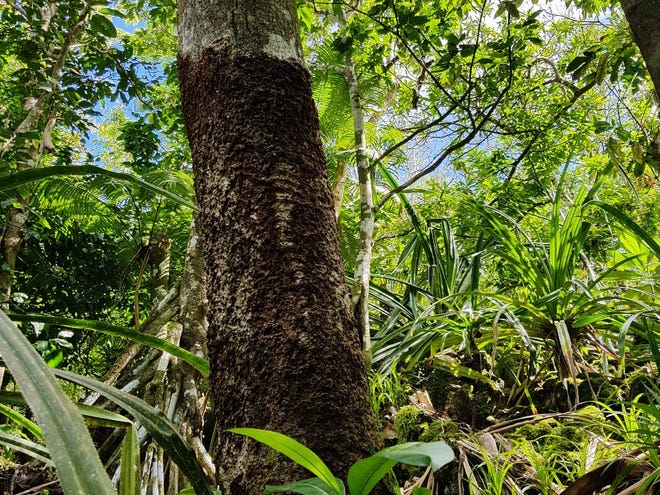 Brown root rot fungus spotted on trees in the Pacific.