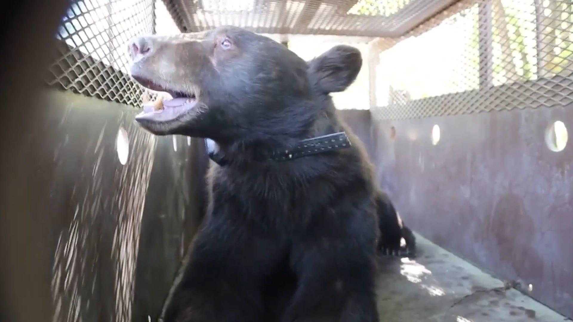 Black bear burned in wildfires is returned home
