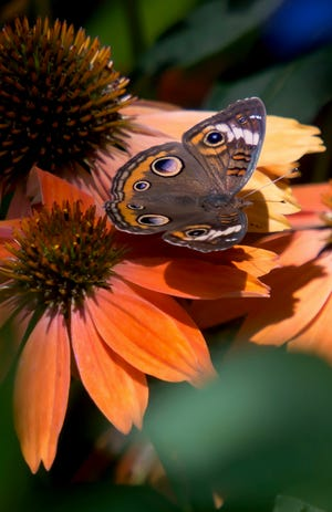 A common buckeye butterfly is just one of many butterflies that will visit the Color Coded Orange You Awesome coneflowers.