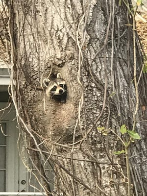Wildlife, like this little raccoon poking its head out of a tree in Ormond Beach, is fairly common in urban areas throughout Volusia and Flagler counties. NEWS-JOURNAL/PAT RICE
