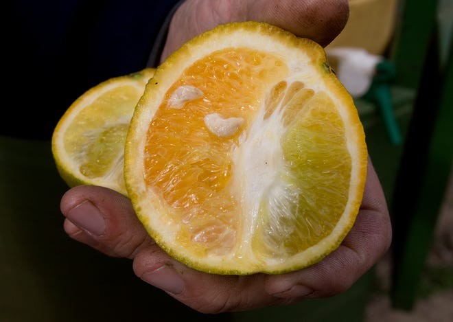 Citrus trees infected with citrus greening produce a fruit that is lopsided and contains misshaped seeds seen in a Hunt Brothers grove in Lake Wales in this 2009 file photo.