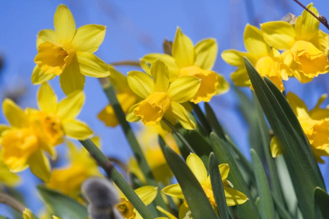 Deer can be an issue in the spring when the bulbs begin to come out.Daffodils are deer resistant.