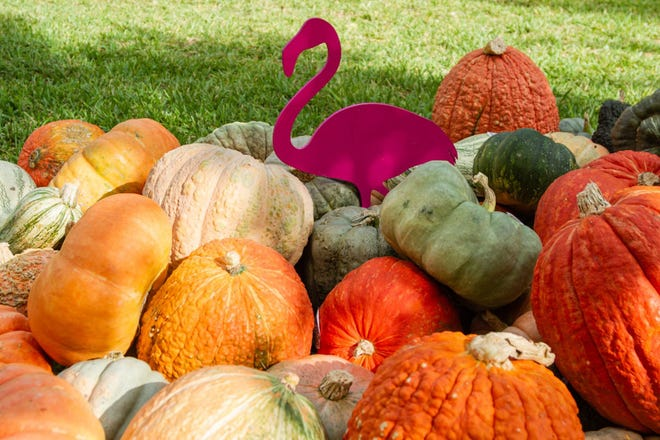 A pink flamingo sits with a pile of pumpkins Saturday at the The Royal Poinciana Plaza's Pop-Up Patch for Philanthropy benefitting Cancer Alliance of Help and Hope.