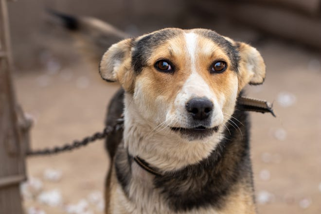 Rescued dogs usually have been betrayed by one or more humans. Restoring trust takes patience, praise, and love.