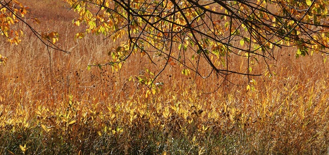 The edge of any natural community is a transition zone where different species compete for a space to survive. It may be influenced by available moisture, sunlight or even soil type. Here we can see cool-season grasses in the foreground, farther out showy sunflowers in autumn color, and beyond a mixture of tall prairie grasses and the branches of a black cherry tree. Contact Carl Kurtz at cpkurtz@netins.net.