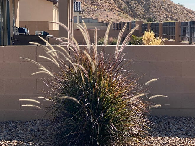 This purple fountain grass is thriving after a single growing season, but it may not be cold hardy enough to stay alive through the winter.