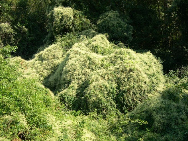 """Silver lace vine is an invasive member of the """"smartweed"""" family."""
