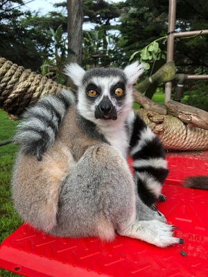 This Dec. 17, 2018, photo shows Maki, the ring-tailed lemur, from the San Francisco Zoo.