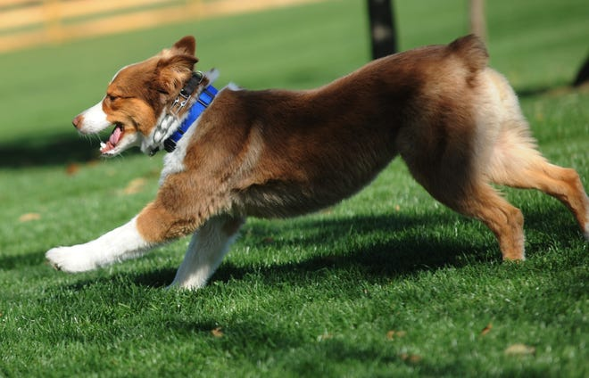 Stryker, the dog of Coastal Pet Products owner Jim Stout, runs free Friday after the opening of Alliance's dog park.