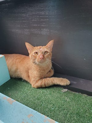 Jerry is a handsome 1.5-year-old male orange tabby. He is shy at first, but after a slow approach and a few head scratches, he quickly warms up and loves attention. Jerry does great with other cats. Spend some time with Jerry at our shelter and you'll see how sweet of a boy he is!
