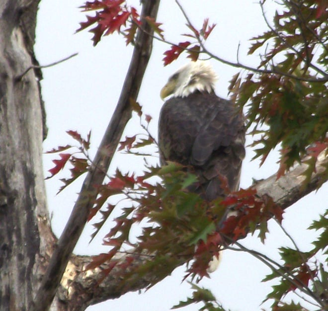 Reader John Tucker caught two bald eagles on camera near the Allegany Courthouse checking the Genesee River in Belmont. Probably a breeding pair, said Tucker.