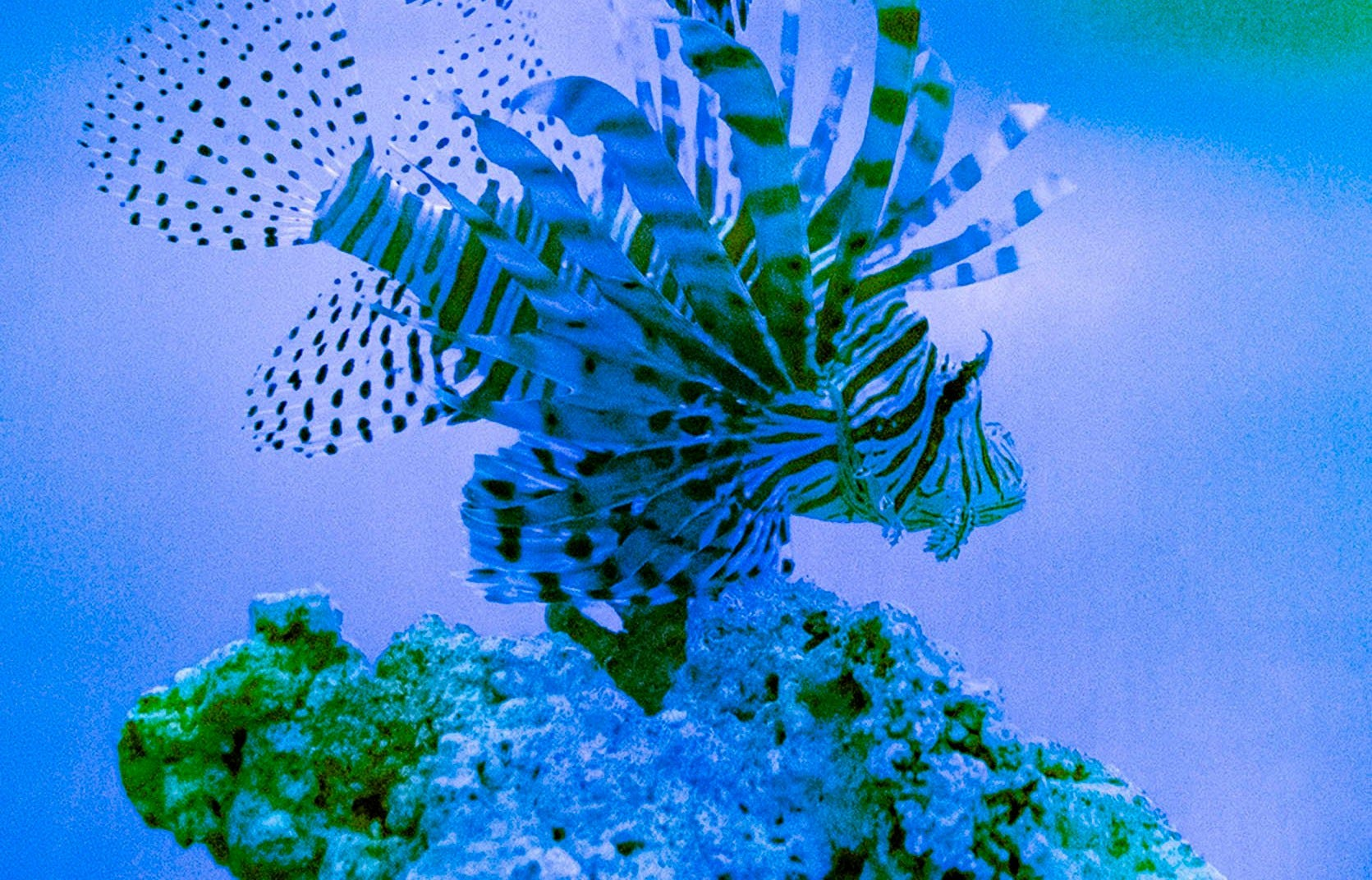 A lion fish in an aquarium at Loggerhead Marinelife Center. Carter Viss caught the lion fish snorkeling before he was injured near the Breaker's Reef.