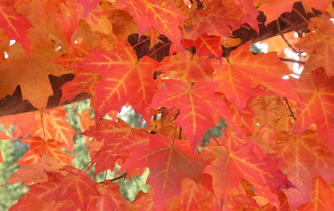 """Sherrie Baughman of Zoar calls this photo """"All Dressed up for Fall."""" She took this photo of a colorful maple tree at the Zoar Garden."""