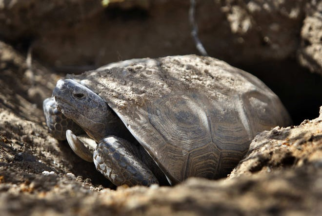 A threatened desert tortoise looks out of its burrow in the Ivanpah Valley in the eastern Mojave Desert near Primm, Nevada.