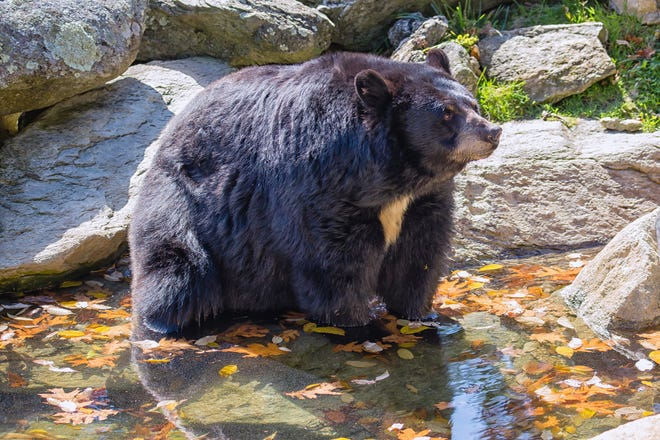 A black bear cools off in a pond.