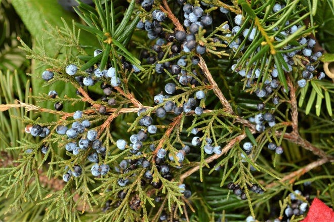 Often maligned as a 'junk' tree, Eastern Red Cedar provides attractive bark and equally attractive dark purple berry-like cones (pictured) on female plants that are beloved by Cedar Wax Wings.