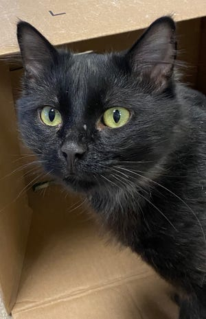 Duck is a friendly, social cat who is waiting to be adopted from the Oshkosh Area Humane Society.