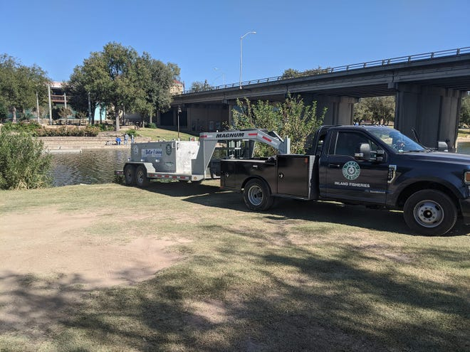 Catfish are stocked in the Concho River near downtown San Angelo. Oct. 16, 2020.