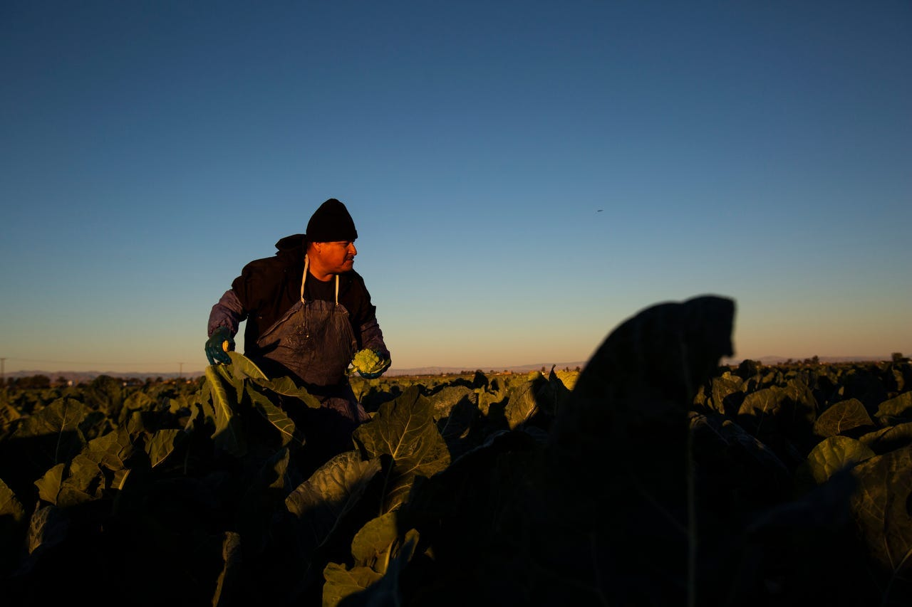 Silverio Alvarado harvests romanesco cauliflower in Imperial Valley on March 24, 2020 amid the COVID-19 pandemic.