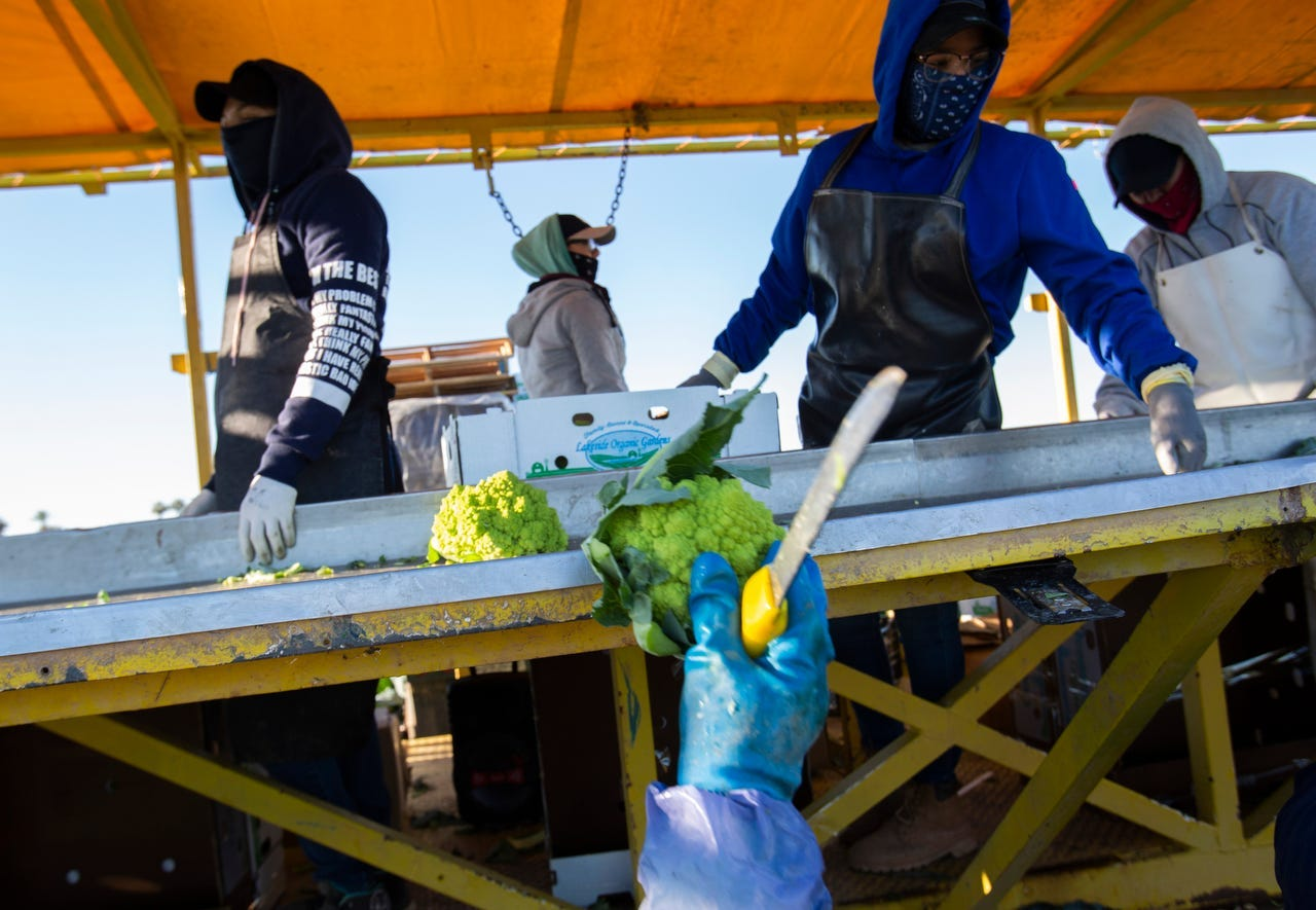Farmers harvest romanesco cauliflower in California's Imperial Valley during the coronavirus pandemic in March. Many farmworkers in the region were infected.