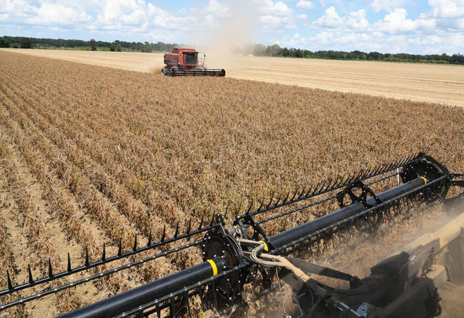 Two combines harvest soybeans in Avoyelles Parish.