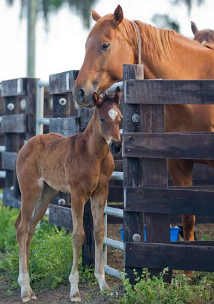 The mare, American Swagger, checks on her baby in this 2016 file photo. The Jockey Club released its breeding statistics report recently that showed Florida's thoroughbred breeding numbers stabilizing after dropping sharply in the last few years.