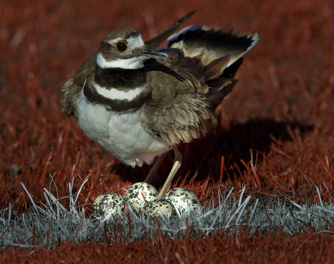 A killdeer stands guard over a nest of 4 eggs despite being on the third base foul line and close to the action during the practice of both the North and South teams at Delta College's Cecchetti Field in Stockton. Shooting from a slightly higher angle eliminates the distracting background.