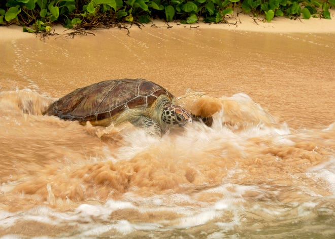 Shelly the sea turtle was released at Gab Gab Beach at U.S. Naval Base Guam Tuesday.