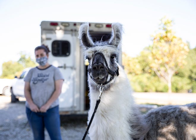 Whitney Van Zandt and her llama Kaibab at Shelby Farms playground in Memphis, Tenn., on Friday, October 18, 2020. She has handled lamas for over 28 years.