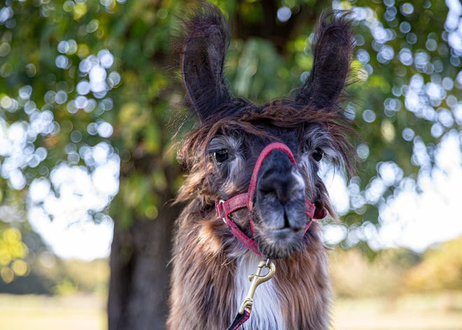 Chewy the llama poses for a portrait at Shelby Farms playground in Memphis, Tenn., on Friday, October 18, 2020. He is the youngest of the three llamas owned by the Van Zandt family.