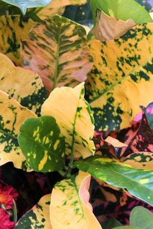 Croton Magnificent