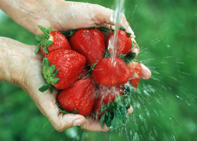 Strawberries are grown as an annual crop in Florida over the winter.