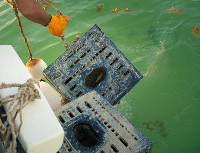 Stone crab traps are a double-edged sword, however, as while they attract fish big time, they will also cause many lost fish as well.