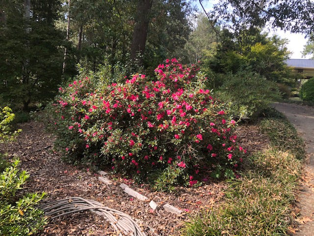 These three Encore Azaleas are in full bloom along the driveway out front. They have been there for many years and have grown together and almost appear to be one large azalea. They have never been pruned.